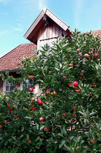 Apple Tree against House Facade; Hausgiebel Apfelbaum  Apfel Rote äpfel Am Baum äpfel Am Baum Red Apple Tree Red Apples Red Apple Trees Botanik Botanics Beautiful Nature Fruit Tree Botany Obstbaum Obstbäume Gaube Spitzdachgaube Houses And Windows House In Background