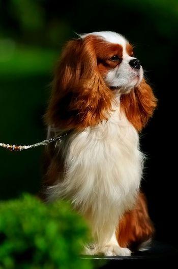 Leo Proud King Cavalier King Charles Spaniel Cavalierkingcharles Ckcs Dog Show Cavalierkingcharlesspaniel Cavalierking Springtime Dog
