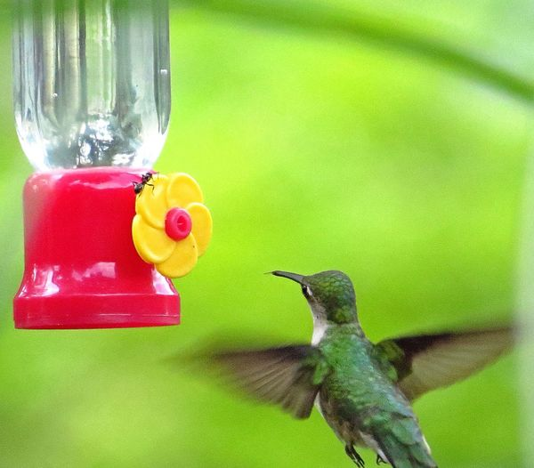Ant v Hummingbird Hummingbird Humming Bird Birds Bird Bird Photography Mybackyard Nature On Your Doorstep Nature Birdwatching EyeEm Nature Lover