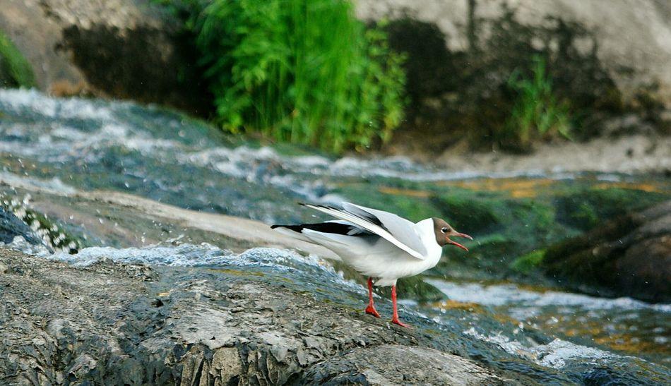 Birds Of EyeEm  Birds🐦⛅ Urban Birds Birds_collection Black Headed Gull Blackheaded Gull Laughing Gulls Laughing Gull Gull Gulls Halinen Turku In Finland Gullscream
