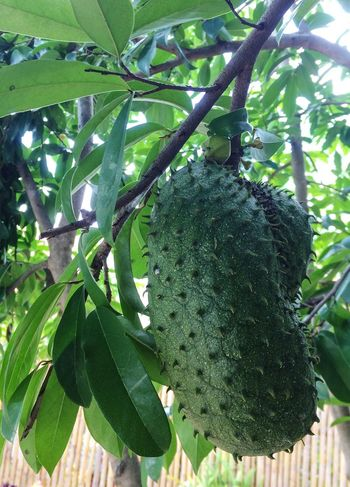 Prickly Custard Apple EyeEmNewHere EyeEm Nature Lover Prickly Custard Apple Plant Growth Green Color Leaf Plant Part Nature Beauty In Nature No People Tree Food And Drink Food Fruit Freshness Healthy Eating Close-up Outdoors Hanging Sunlight Focus On Foreground Day