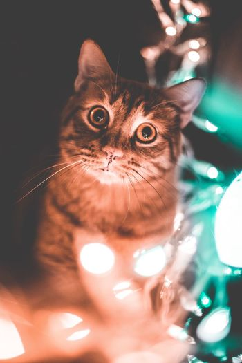 Domestic Cat Pets Looking At Camera Domestic Animals Portrait Feline Animal Themes Whisker Mammal One Animal Indoors  No People Close-up Yellow Eyes Day