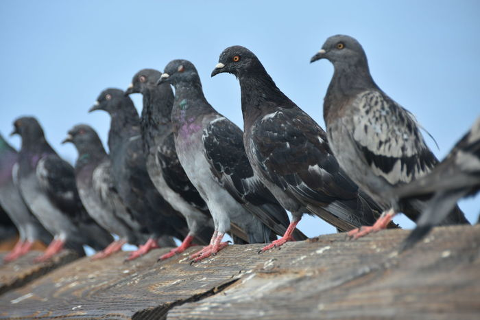 Peace And Quiet Animal Themes Animal Wildlife Animals In The Wild Bird Blue Sky Close-up Day Gray Background Grey Large Group Of Animals Leisure Lined Up In A Row Nature No People Order Outdoors Perching Pigeons
