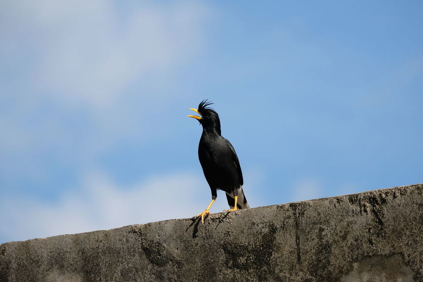 Animal Animal Themes Animal Wildlife Animals In The Wild Bird Black Color Blue Day Low Angle View Nature No People One Animal Outdoors Perching Retaining Wall Rock Sky Solid Vertebrate Wall