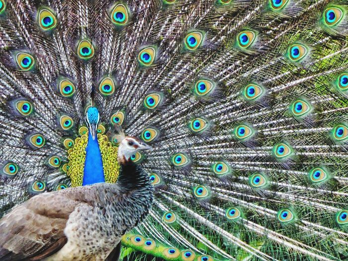 Peacock Feather Bird Peacock Fanned Out Vanity Multi Colored Backgrounds Tail Full Frame Feather  EyeEmNewHere