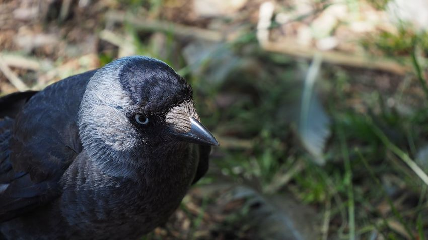 I do Love these birds 😍 Bird Animal Themes One Animal Animals In The Wild Focus On Foreground Wildlife Black Color Close-up Beak Day Zoology Outdoors No People Beauty In Nature Animal Jackdaw Jackdaws Jackdaw Bird Shallow Depth Of Field