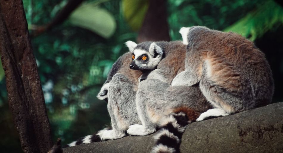 Close-up of lemurs sitting on log in forest