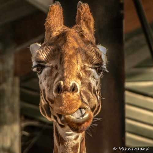 Giraffe firm, what you looking at!? One Animal Animal Themes Mammal Focus On Foreground Animal Head  Close-up No People Animals In The Wild Day Indoors  Domestic Animals