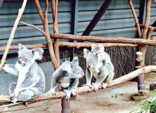 Animal Themes Outdoors Happyfamily Koala Australia Travel Discover  LonePineKoalaSanctuary Cutness Animalworld
