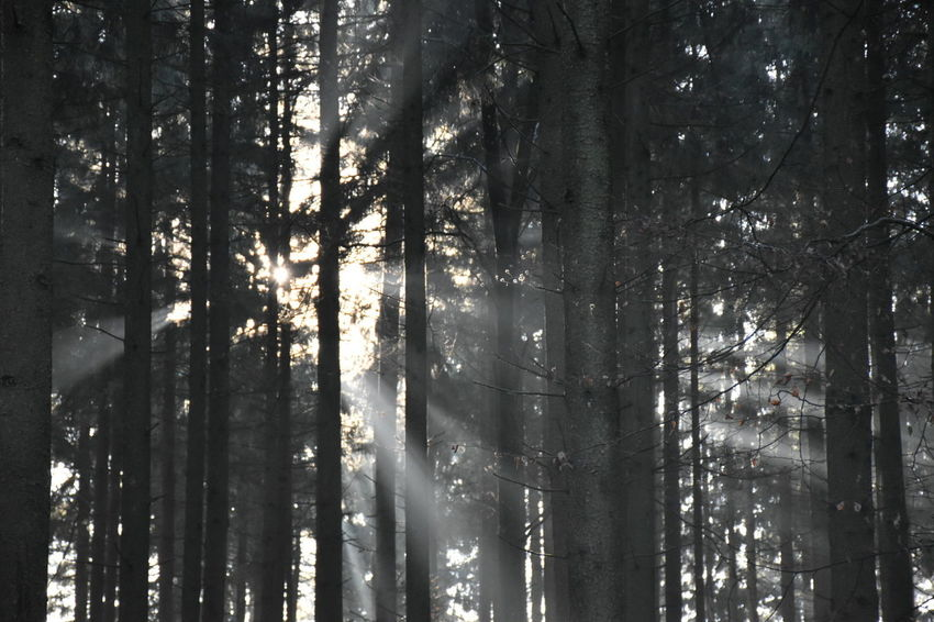 Beauty In Nature Sunlight Through Trees Wood Walk Black & White Tranquility No People Tree Trunk