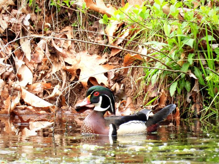 Wood Duck at