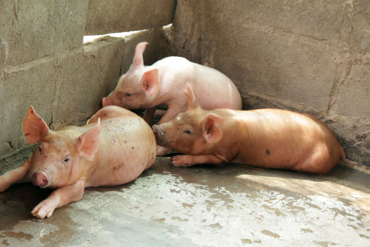 Small pigs in the stable are eating and growing. To send to the slaughterhouse. Is a pork industry To be human. Small Pigs In The Stable Are Eating And Growing. To Send To The Slaughterhouse. Is A Pork Industry To Be Human. Animal Animal Family Animal Themes Day Domestic Domestic Animals Group Of Animals High Angle View Indoors  Livestock Mammal Medium Group Of Animals Nature No People Pets Pig Piglet Relaxation Vertebrate Young Animal