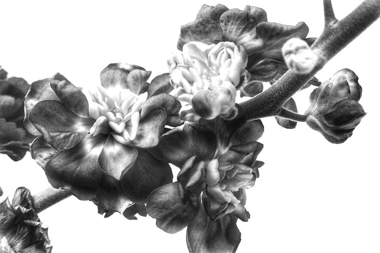 Flower Head Flower Spring Flowers Botany Spring Blooming Botanical Plant Nature Blackandwhite Prints Of Nature