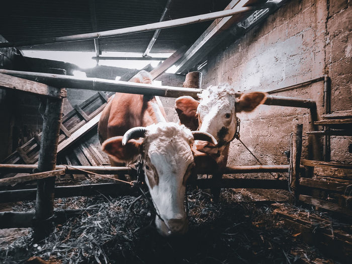 High angle view of cow in stable