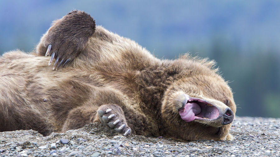 Close-up of bear yawning