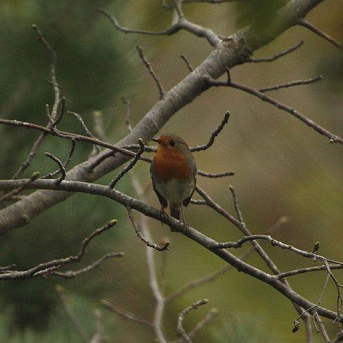 Kızılgerdan.. Bird Birdphotography Istanbul Kusfotograflari kus ornito ornithology kizilgerdan robin red redbreast naturelovers naturphotography nofilter instalike instadaily instagood instanature green