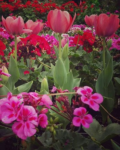 Welcomespring Tulips Roses Flowers Greenery Garden Morning Egypt Beautifulegypt Thisisegypt