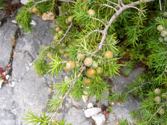 Beauty In Nature Close-up Day Food Food And Drink Freshness Fruit Green Color Growth Healthy Eating High Angle View Juniper Juniper Berry Juniper Trees Leaf Nature No People Outdoors Plant Spice Tree