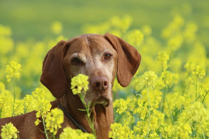 You called? :) having a little fun in the late autumn flowers. Senior Dog Vizsla EyeEm Selects Flower One Animal Animal Flowering Plant Mammal Animal Themes Domestic Animals Pets Domestic Plant Yellow Canine Dog Growth Nature No People Land Day