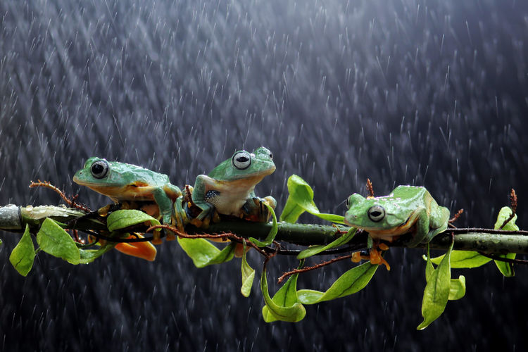 tree frogs on twigs Green Color Animal Wildlife Nature Animals In The Wild Animal Animal Themes No People Close-up Group Of Animals Plant Vertebrate Plant Part Water Leaf Day Focus On Foreground Outdoors Amphibian Growth