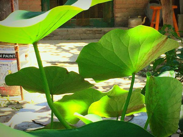 Lotus By Lemonni