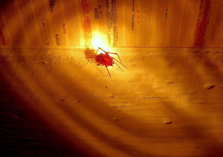 Spider Arachnid Arachnophobia Insect Itsy Bitsy Spider Night Predator Red Red Spider