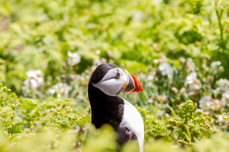 Puffins on Skomer Island of the coast of Pembrokeshire Wales UK 2019 Birds Pembrokeshire Puffin Puffins Skomer Island Uk Wildlife Animal Themes Animal Bird Vertebrate Animals In The Wild One Animal Animal Wildlife Plant Selective Focus No People Day Nature Green Color Close-up Beak Field Land Outdoors Poultry Focus On Foreground SKOMER