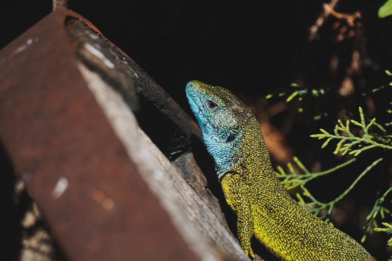 Close-up of european green lizard