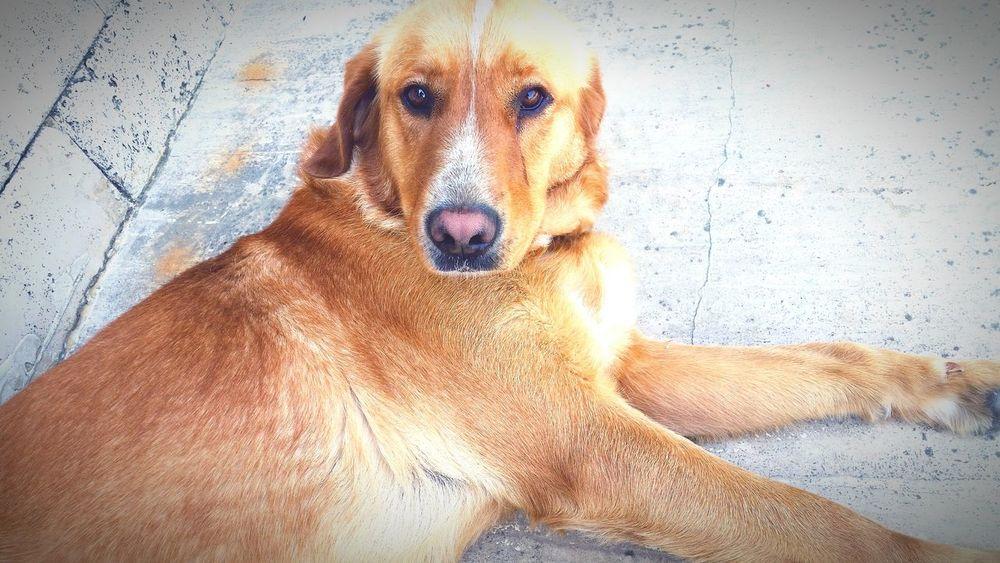 Dogs Golden Sleeping ıstanbul Sarıyer