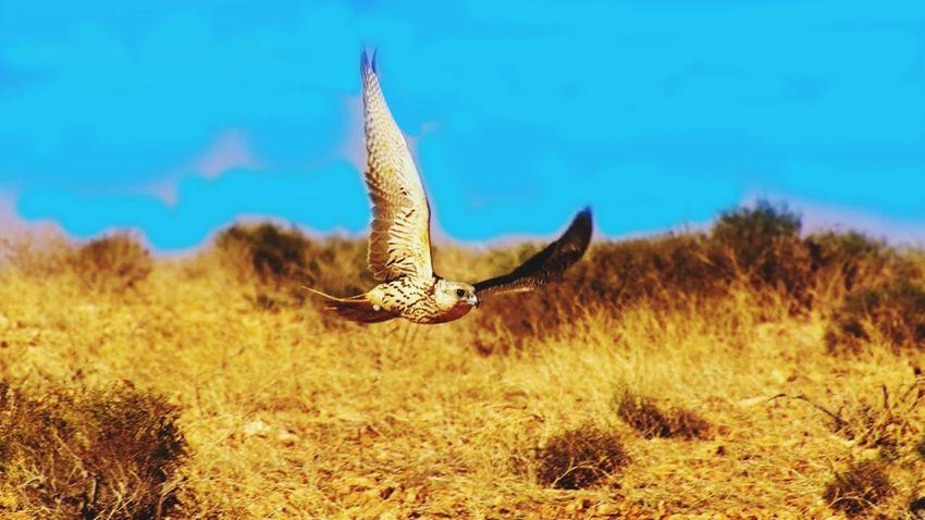Eagle Eagle - Bird Eagle Portrait Eagle Gold Elang Bird Flying Bird Of Prey Spread Wings Sky Grass