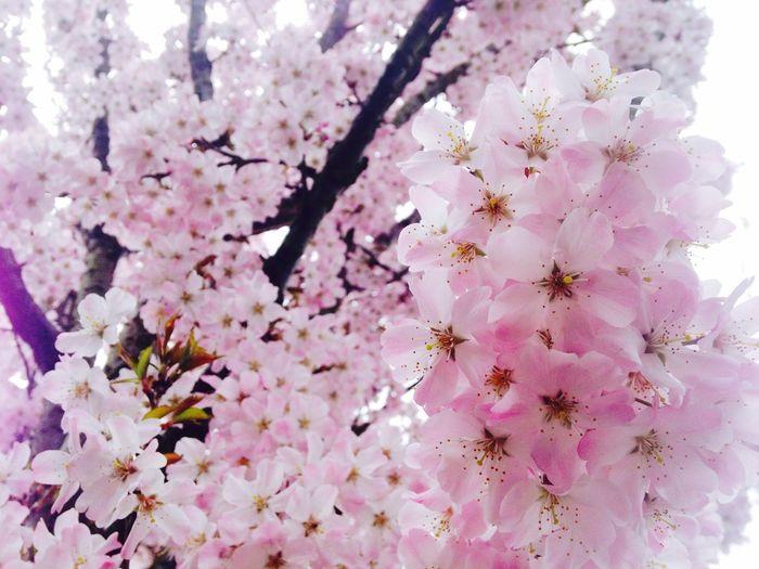 Flowers Hello World Enjoying Life Taking Photos London <3 Trees Dailyphoto Cherry Blossoms