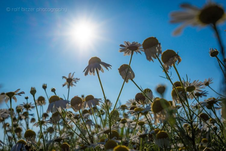 Flower Fragility Sun Sunbeam Beauty In Nature Clear Sky Low Angle View Sunlight Nature Lens Flare