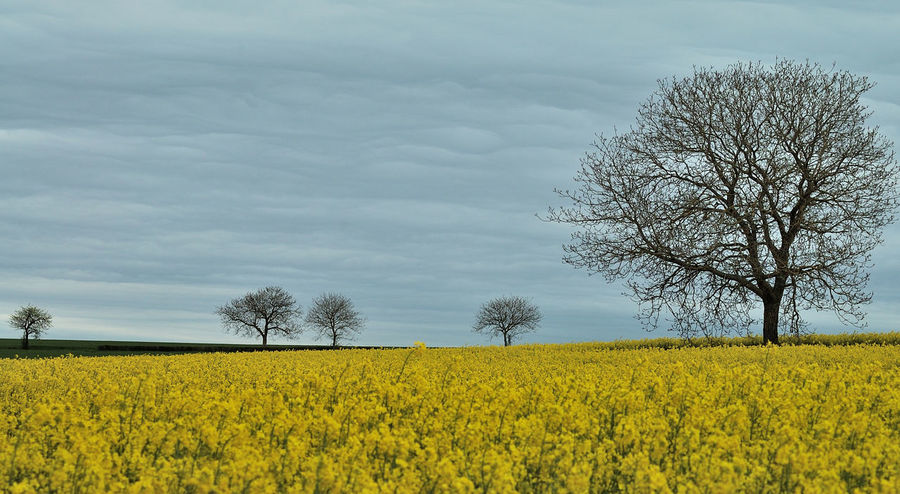 Agriculture Beauty In Nature Bourgogne Campagne Ciel Cloud - Sky Cultivated Land Flower Nature No People Nuages Outdoors Puisaye Rural Scene Sky Tranquility Tree Yellow Yonne Yonnetourisme