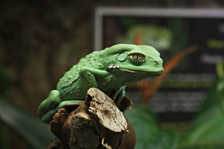 Zoophotography Zoology Stockolm Nature Photography Frog Perspective Frog Animal Themes Animal Animal Wildlife One Animal Vertebrate Reptile Animals In The Wild Nature Amphibian Looking Day Green Color Focus On Foreground No People Looking Away