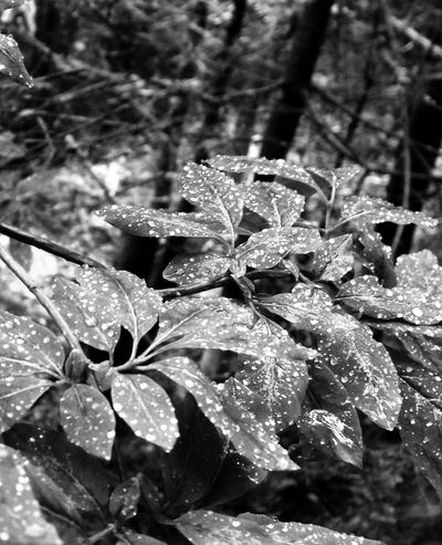 Beauty In Nature Black And White Blackandwhite Botany Close-up Day Dew Drop Focus On Foreground Fragility Freshness Growth Leaf Leaves Nature Outdoors Plant Monochrome Photography Rain Rainy Scenics Season  Water Weather Wet
