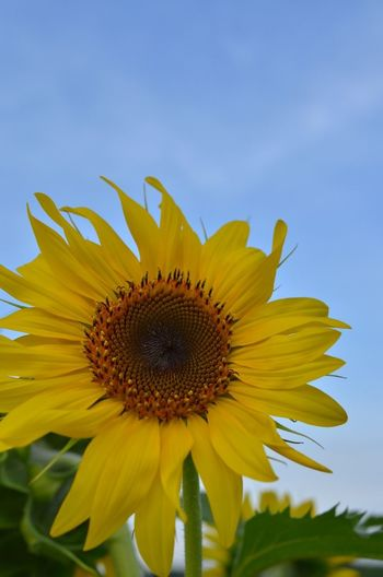 Flower Yellow Flower Blue Sky EyeEm Nature Lover