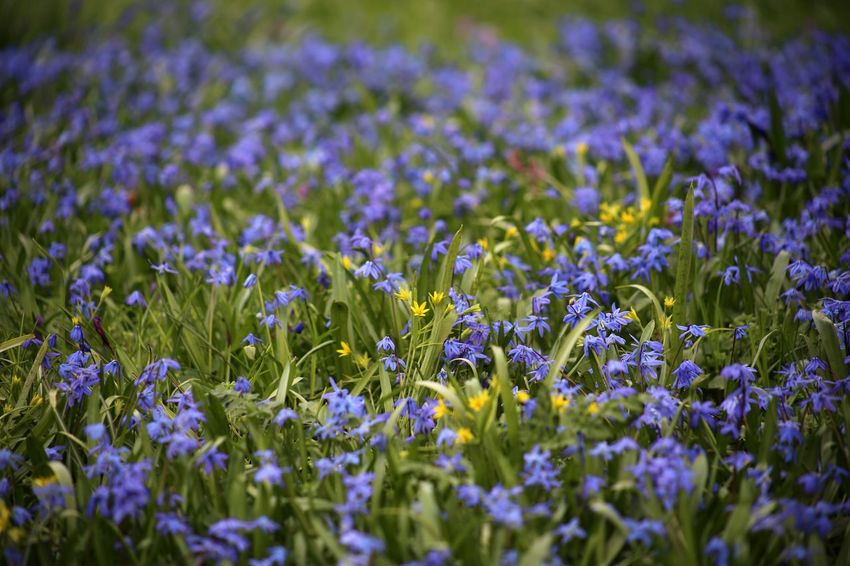 scilla siberica Scilla Scilla Siberica Springtime Spring Flowers April Blausternchen Blaustern Sibirischer Blaustern Russia Russian Nature Spring Into Spring Spring Meadow