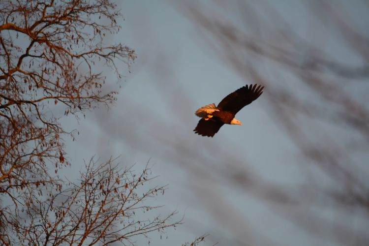 Low Angle View Of Eagle Flying Against Bare Tree