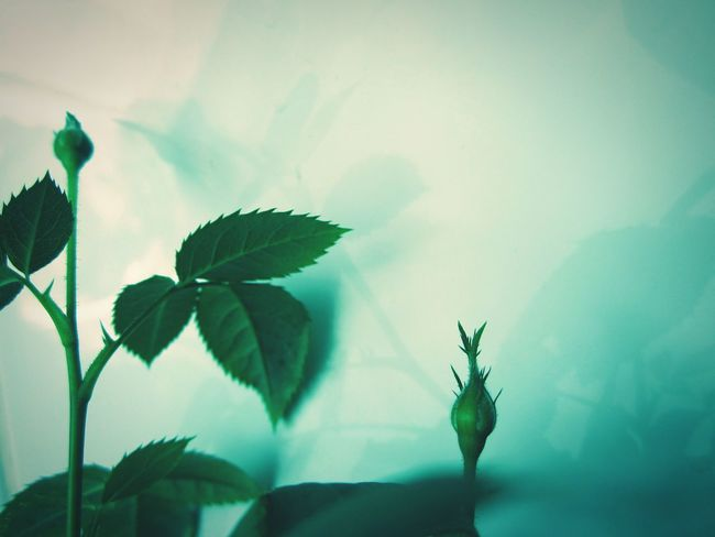 ◽🍥 two little buds🍥◽ Hello World Check This Out Minimalist Simplicity Fine Art Reflection_collection Showcase May The Moment - 2016 Eyeem Awards The Week On EyeEm Reflected Glory Rose Buds Buds New Life Green Green Green!  White Background Studies Of Whiteness The White Album