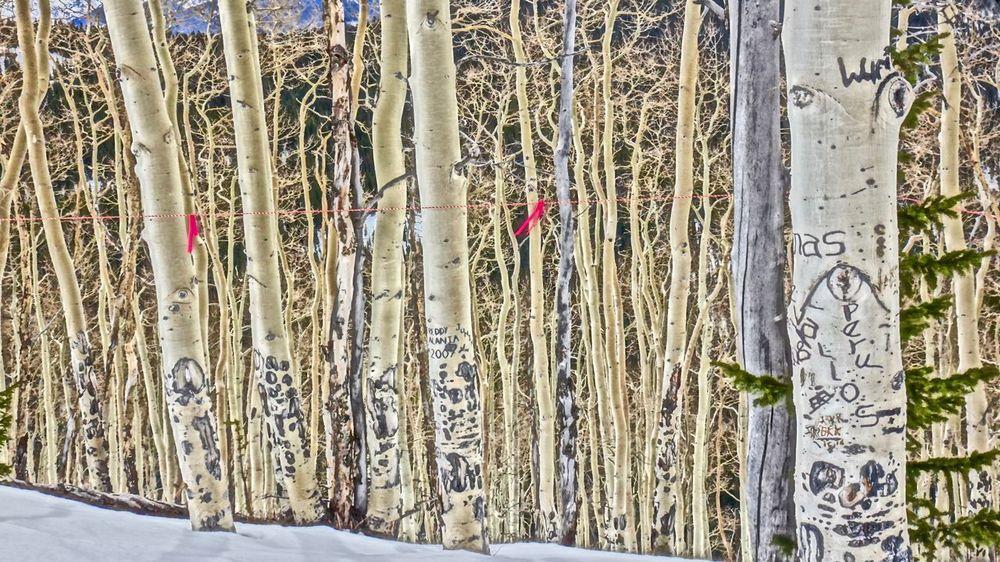 Springtime Tree Tree Carvings Tree_collection  TreePorn Trees Vail Colorado Vail,co