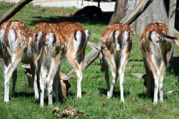 Animal Animal Themes Bottom Deer Grazing Herbivorous Mammal Outdoors Tail