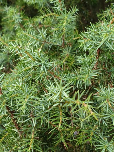 juniper tree