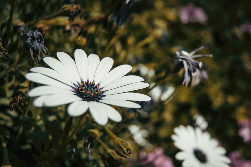 Nature Osteospermum Ecklonis Plant Beauty In Nature Blooming Close-up Day Flower Flower Head Flower White Flowers Focus On Foreground Fragility Freshness Growth Nature Nature_collection No People Osteospermum Outdoors Petal Plant Pollen White White Color