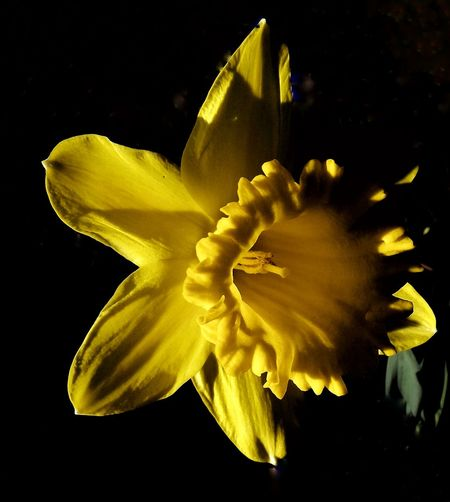 Black Background Flower Yellow No People Flower Head Close-up Nature Day Fragility Beauty In Nature Shadows & Lights Outdoors EyeEm Nature Lover Spring Photography Focus On Foreground Bright Colors EyeEm Best Shots Springtime Plant Backyard Photography Daffodil Bloom Daffodils In The Sun Daffodil And Sunlight Flower Photography Flowers, Nature And Beauty EyeEmNewHere Art Is Everywhere Break The Mold The Great Outdoors - 2017 EyeEm Awards The Week On EyeEm