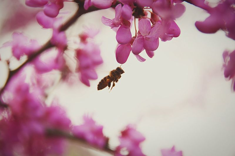 Close-up of bee hovering by pink flowers against sky