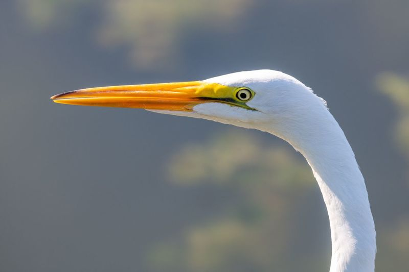 Great egret perching outdoors