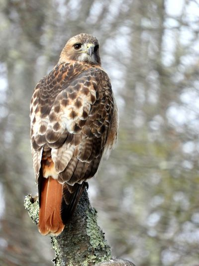 Red Tailed Hawk Red Tailed Hawk Perching Hawk Bird Photography Nature Photography Nature Beauty In Nature Winter In Massachsetts Animal Themes Animals In The Wild