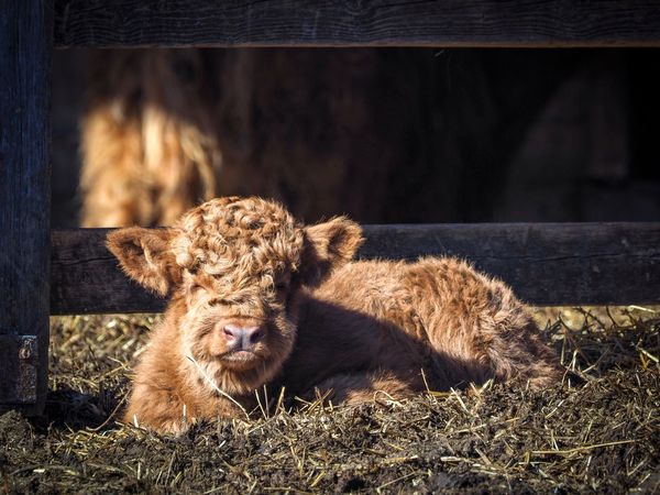 Moo 3/3 Calf Cattle Cow Animal Themes One Animal Animals In The Wild Sunlight Mammal Animal Wildlife Shadow No People Day Outdoors Close-up