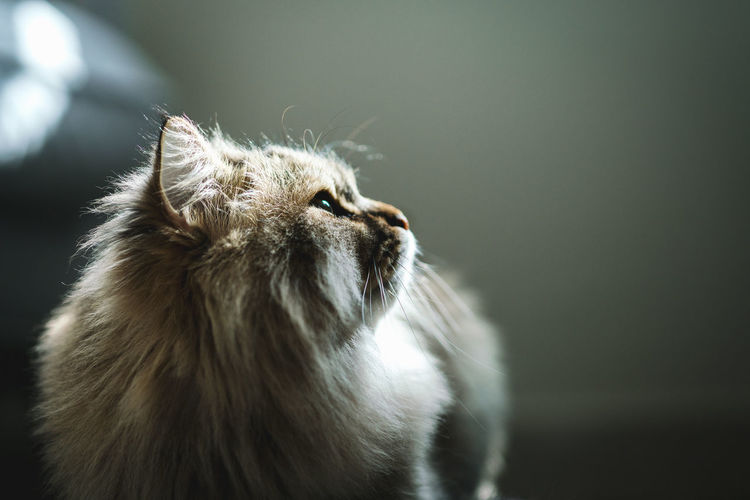cat Cat Light Home Light And Shadow Animal Animal Themes One Animal Pets Domestic Domestic Animals Domestic Cat Looking No People Looking Away Animal Hair Studio Shot Looking Up Animal Body Part Whisker Animal Head  Profile View