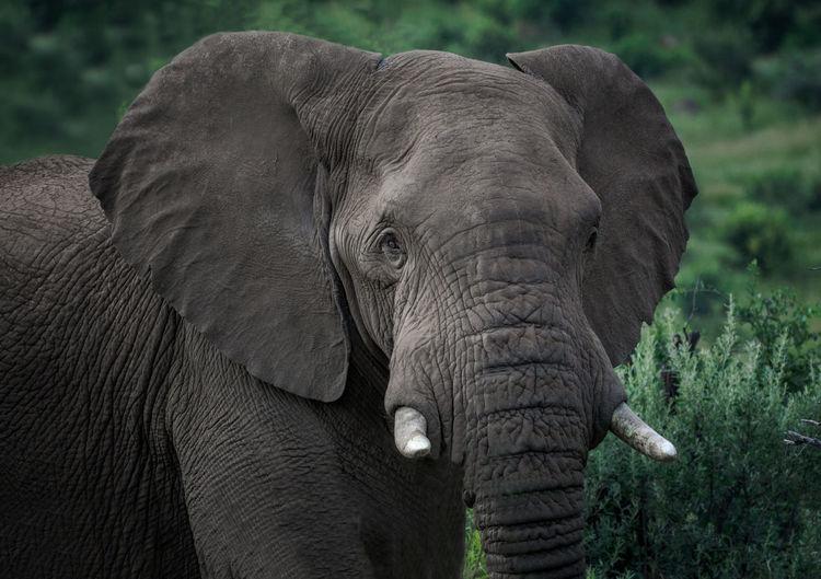 Portrait Of Elephant In Wilderness